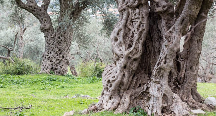 Old_Olive_Trees_Stari_Bar